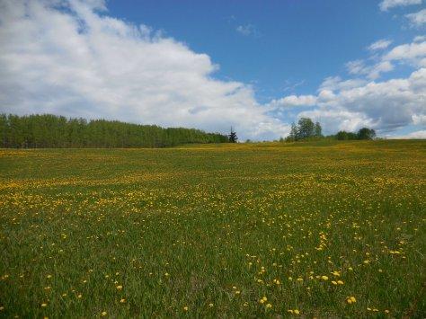 Dandelion Field - ©Derek Chambers