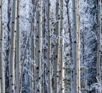 March Aspens - ©Derek Chambers