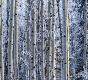 March Aspens - ©Derek Chambers