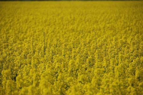 Field of Rapeseed - England - ©Derek Chambers