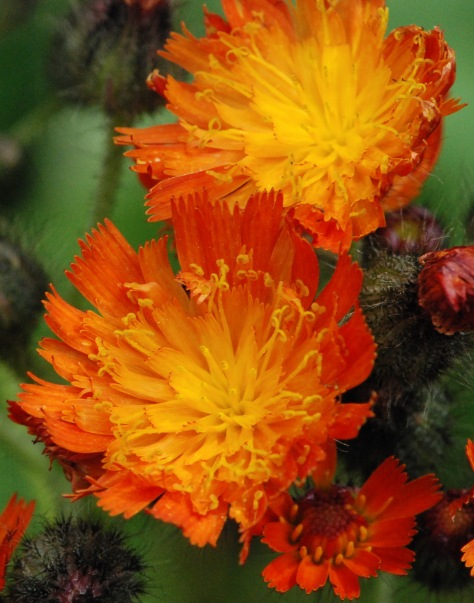Hawkweed near English Lake - ©Derek Chambers