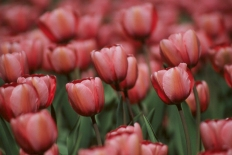Ottawa Tulip Festival - ©Derek Chambers