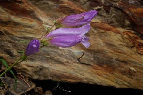 Penstemon,  Eakin Creek Road - ©Derek Chambers