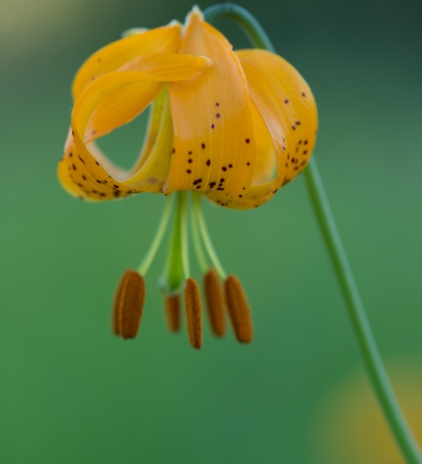 Tiger Lily Curl - ©Derek Chambers