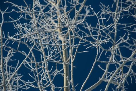 Winter Aspen Wearing White - ©Derek Chambers