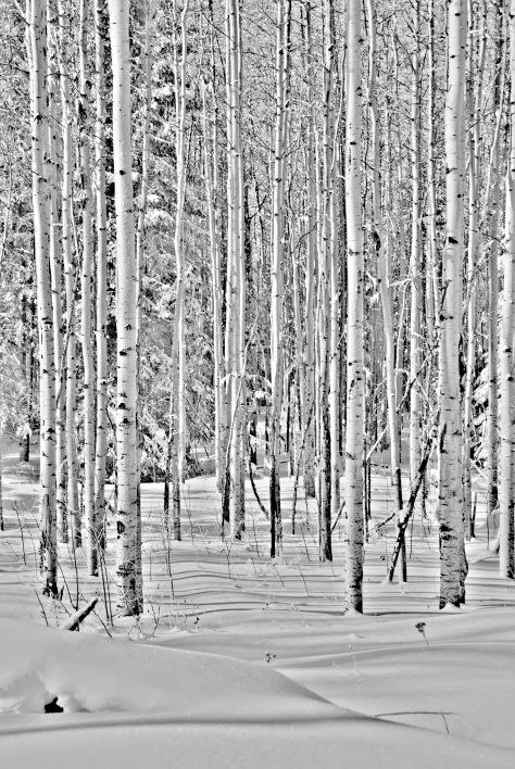 Winter Aspens BW - ©Derek Chambers