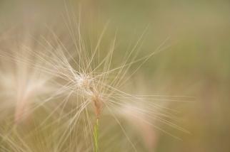 Speargrass - ©Derek Chambers