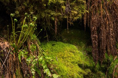 Fiddleheads and Moss - Ancient Forest - ©Derek Chambers