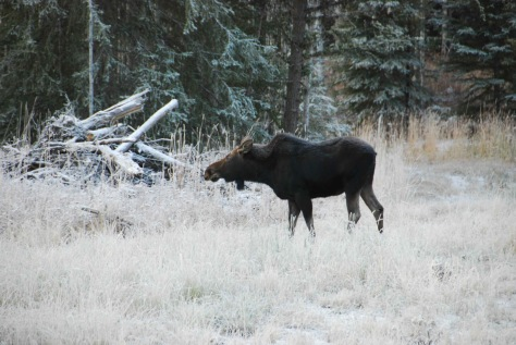 Moose Breakfast on a Frosty Morning - ©Derek Chambers
