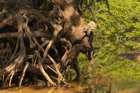 Elephant Roots _DSC5094- ©Derek Chambers