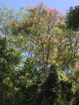 African Tulip Tree IMG_0296- ©Derek Chambers