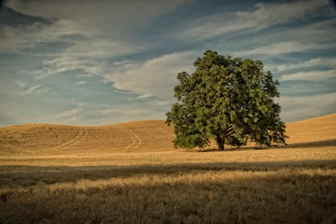 Lone Tree - Palouse - ©Derek Chambers