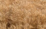 Ripe Wheat - Palouse - ©Derek Chambers