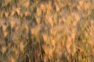 Wheat - Not Ripe Yet - Palouse - ©Derek Chambers