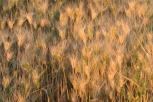 Wheat - Not Ripe Yet - Palouse - ©Derek Chambers