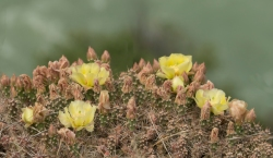 Cactus in Flower - Another - ©Derek Chambers