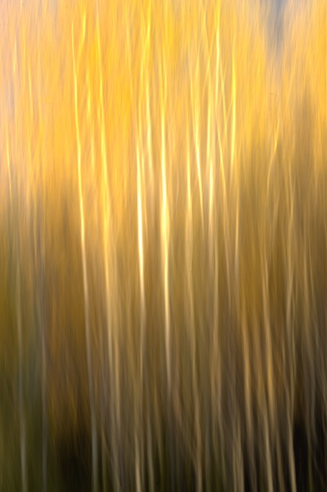 Fall Golden Aspens - ©Derek Chambers