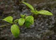 Spring Growth, Eakin Creek Canyon Provincial Park _DSC1593-1366-1370- ©Derek Chambers